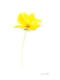 """yellow flower painting"", ashburn artist, ashburn painter, leesburg artist, loudoun artist, artist dave white, northern virginia artist"